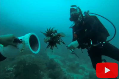 Spearing lionfish