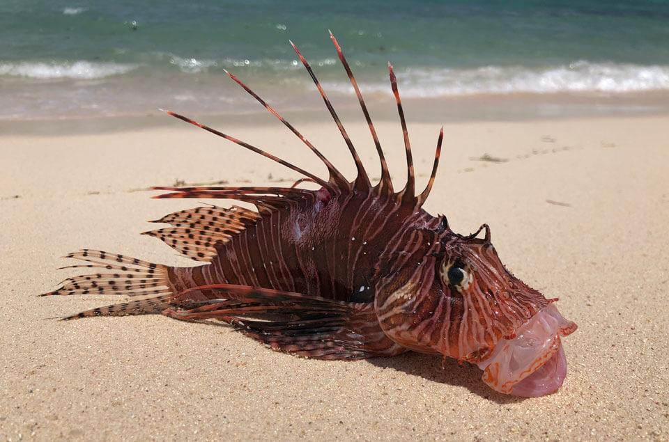 lionfish on beach