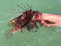 Lionfish in hand
