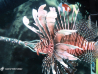 Lionfish photo by Caspy