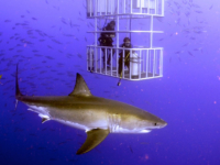 Great white cage shark diving