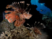 Lionfish in reef