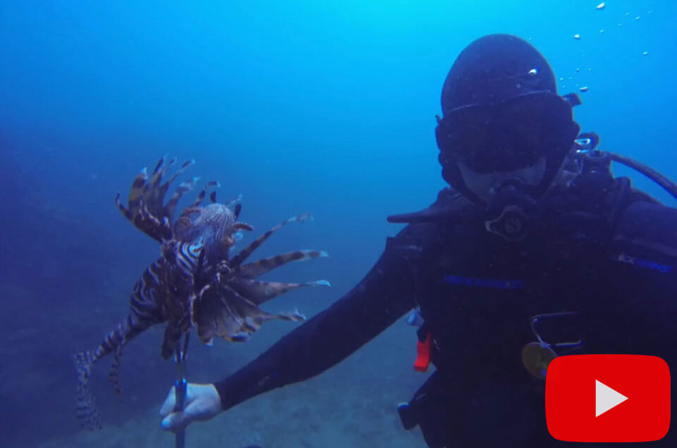 Speared lionfish