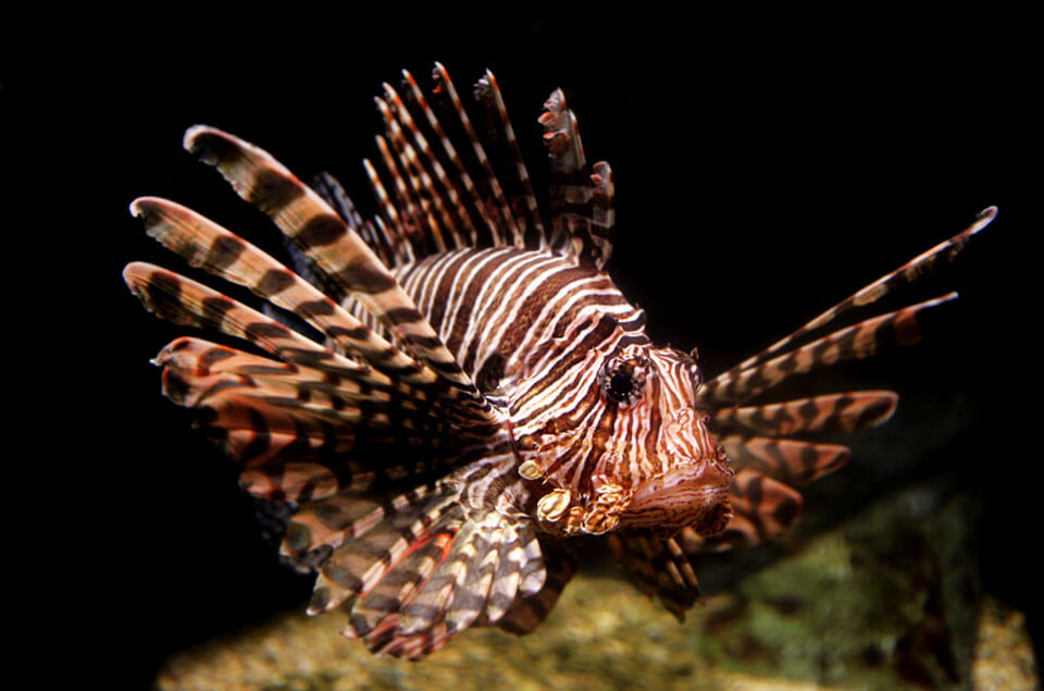 lionfish on reef