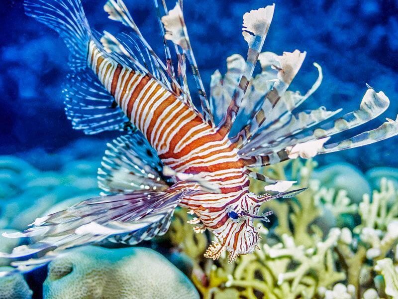 Lionfish closeup