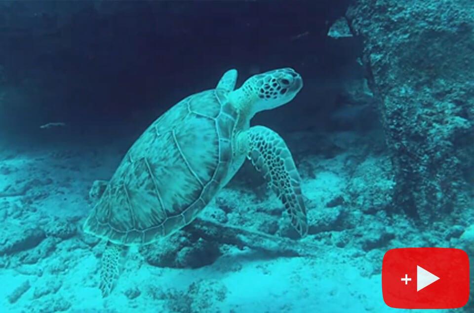 Green sea turtle in Aruba