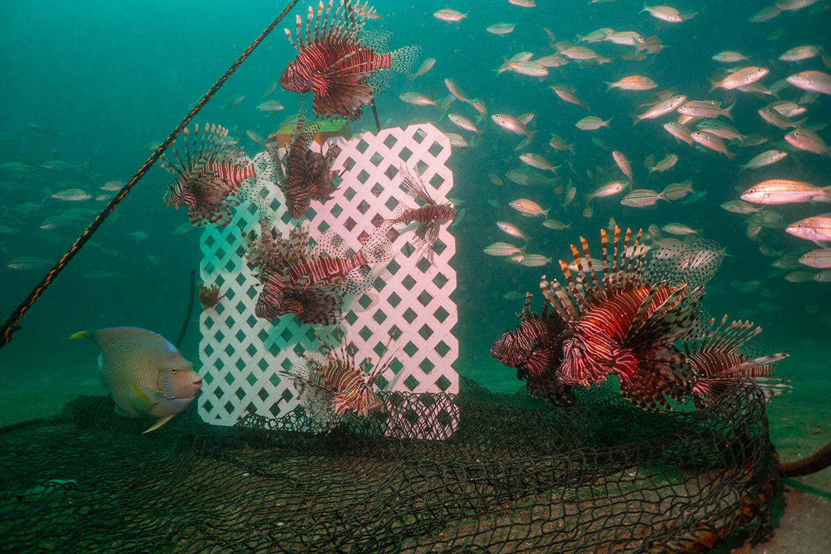 lionfish in trap